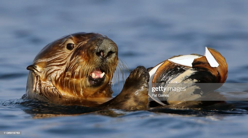 Sea Otter with Clam : Stock Photo