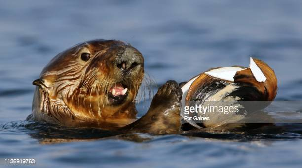 sea otter with clam - sea otter stock photos and pictures