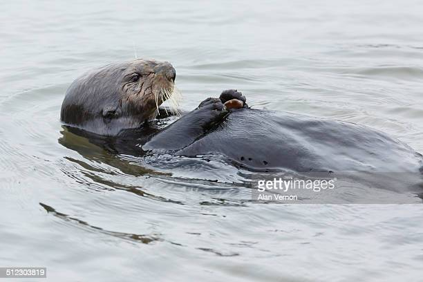 Sea Otter with it's personal Cracking rock