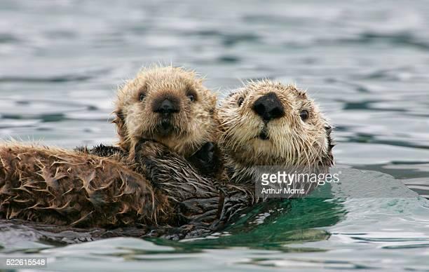 sea otter with pup - lontra imagens e fotografias de stock