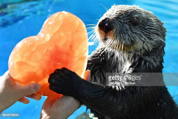 Sea otter 'Yutan' receives a heartshaped ice ahead of the Valentine's Day at Yokohama Hakkeijima Sea Paradise on February 10 2017 in Yokohama...