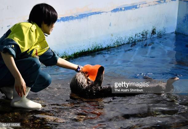 Sea otter 'Yutan' receives a heart-shaped ice ahead of the Valentine's Day at Yokohama Hakkeijima Sea Paradise on February 10, 2017 in Yokohama,...