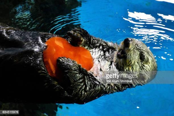 Sea otter 'Yutan' swims with a heartshaped ice ahead of the Valentine's Day at Yokohama Hakkeijima Sea Paradise on February 10 2017 in Yokohama...