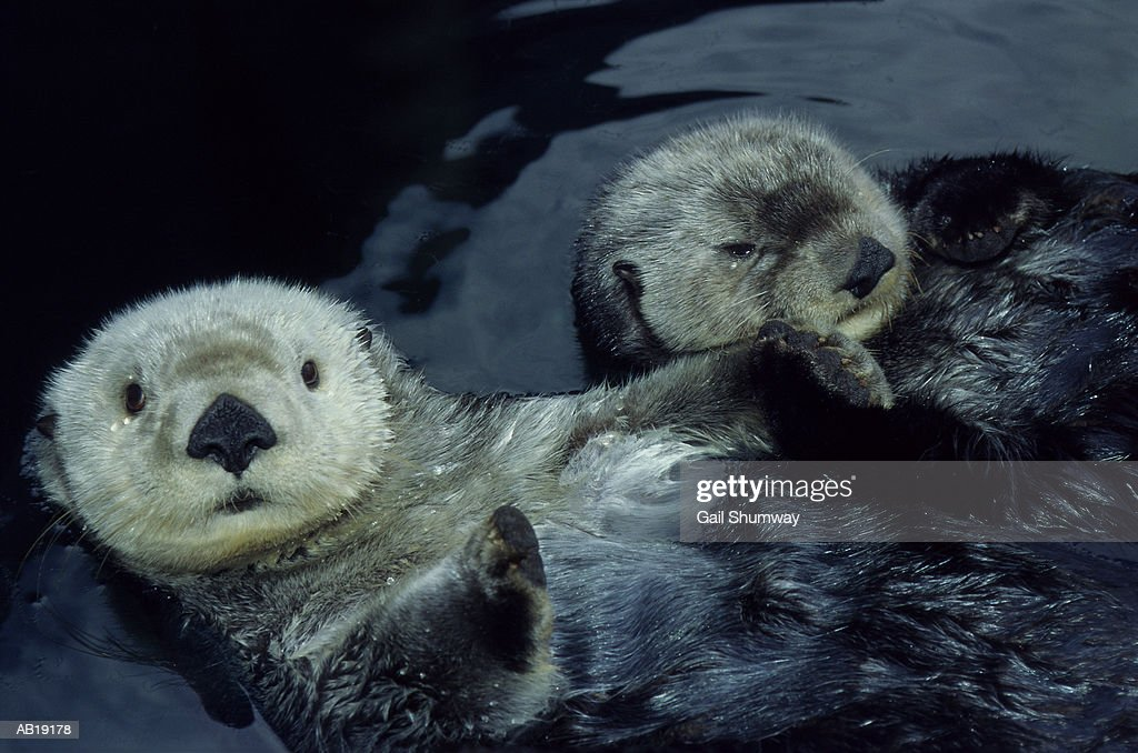 Sea Otters (Enhydra lutris) floating on backs, close-up : Foto de stock