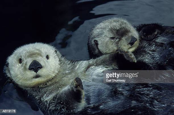 sea otters (enhydra lutris) floating on backs, close-up - otter stock photos and pictures