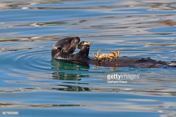 sea otters(enhydra lutris) floats on the back and eats crab, other crab is lying on the stomach, valdez, gulf of alaska, alaska, usa - golfo do alasca imagens e fotografias de stock