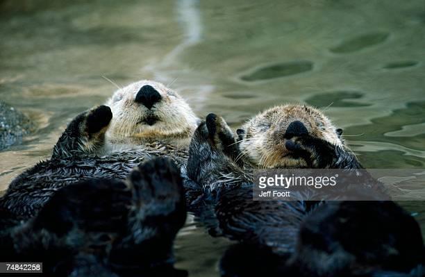 sea otters lay on back in water. enhydra lutris. - sea otter - fotografias e filmes do acervo