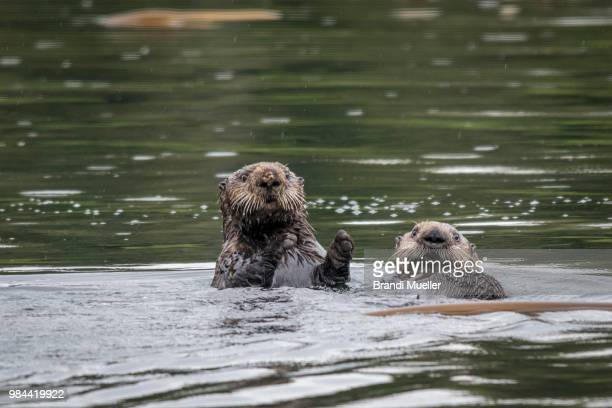 sea otters - sea otter stock photos and pictures