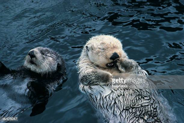 sea otters (enhydra lutris) - sea otter stock photos and pictures