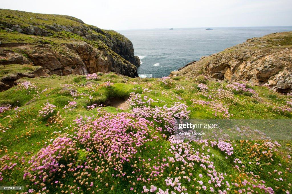 Sea Pink or Thrift, Armeria maritima, flowering on Ramsey Island, Pembrokeshire, Wales, UK. : Stock Photo