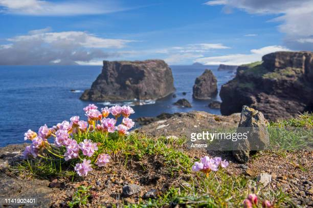 Sea pink / sea thrift in flower in spring on cliff top at Eshaness / Esha Ness Northmavine Mainland Shetland Islands Scotland