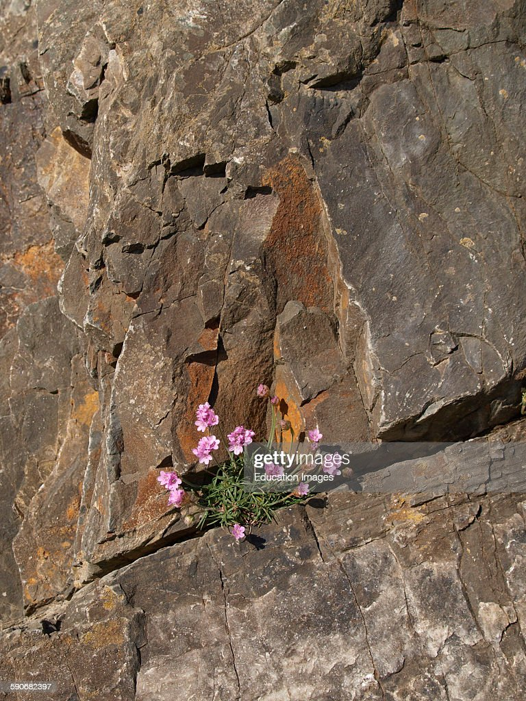 Sea pinks flower growing in a crack in the cliff devon pictures sea pinks flower growing in a crack in the cliff devon uk mightylinksfo Image collections