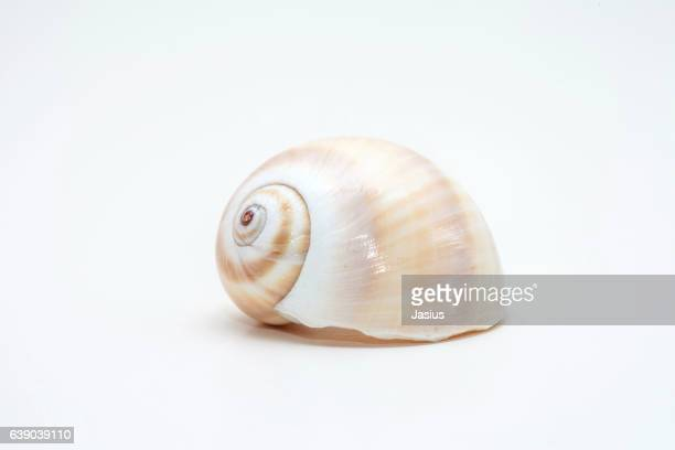 Sea shell macro photo with white background