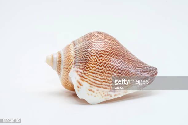 Sea shell macro photo with white background