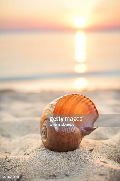 Sea shell on beach at sunset