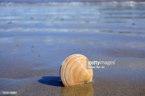 sea shell on wet sandy beach - rafael ben ari imagens e fotografias de stock
