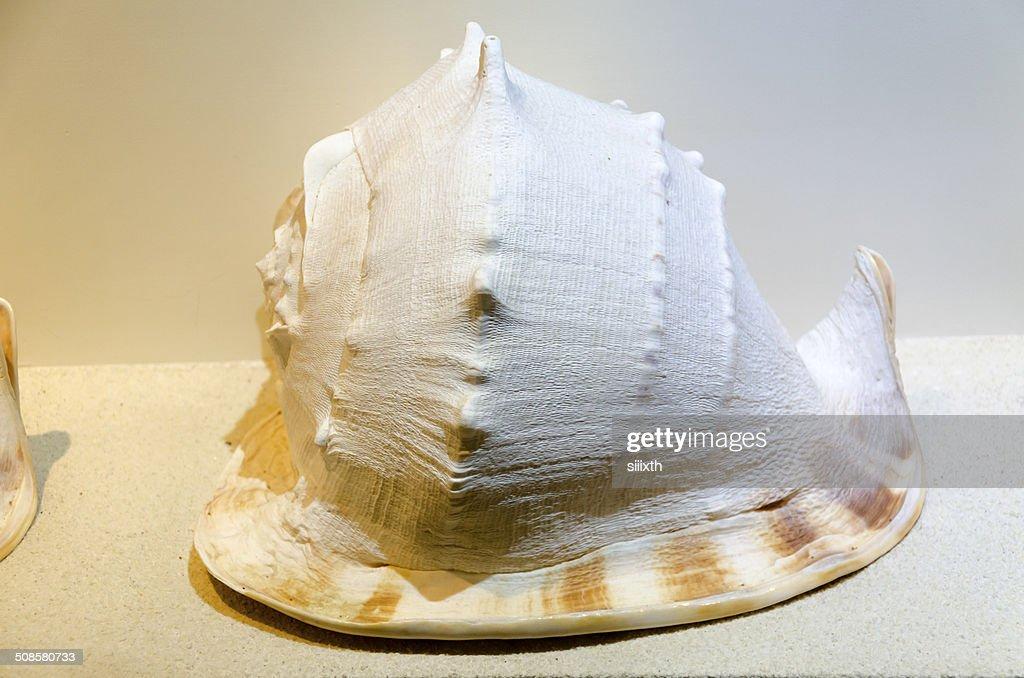 sea shell : Stockfoto