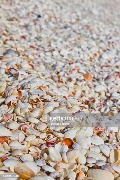 Sea shells covering beach