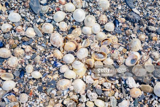 sea shells in a rock pool near trevone - limpet stock photos and pictures