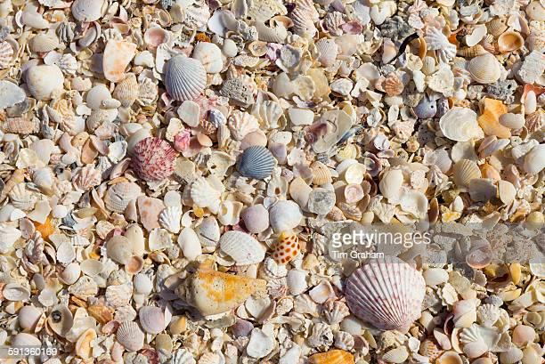 Sea shells on seashore on Captiva Island Florida USA