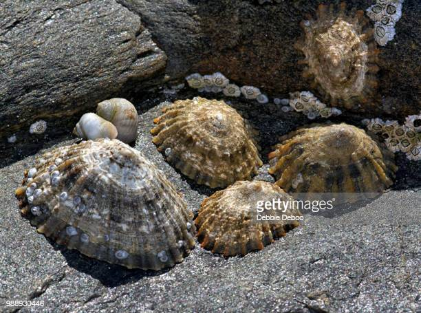 sea shells - limpet stock photos and pictures