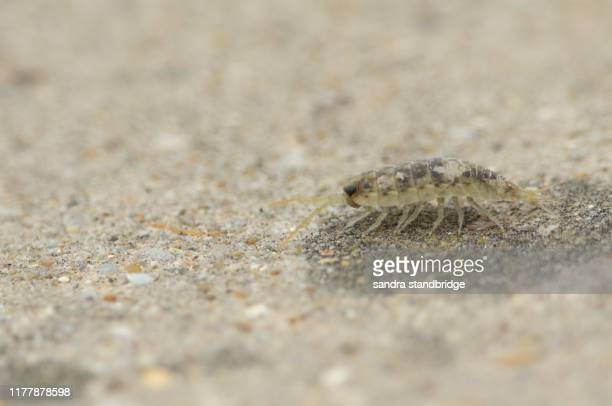 a sea slater, walking along a beach in kent, uk. - louse stock pictures, royalty-free photos & images