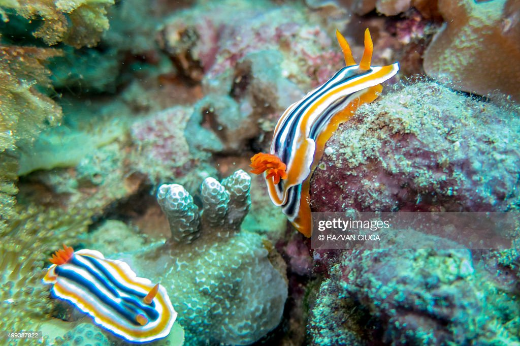 Sea slugs - Nudibranch : Stock Photo