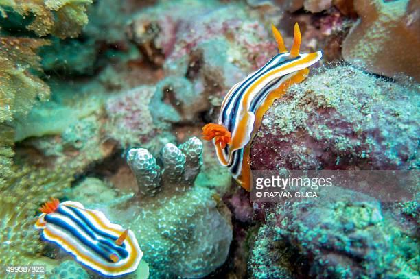 Sea slugs - Nudibranch