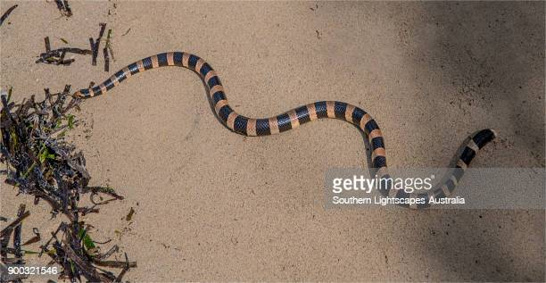 sea snake, ( laticauda colubrina ) slithering on the coral sand at la roche percee, new caledonia, south pacific. - coral snake stock pictures, royalty-free photos & images