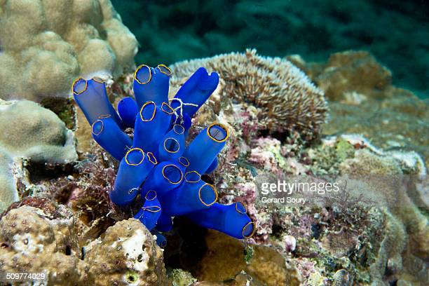 Sea squirt on the coral reef