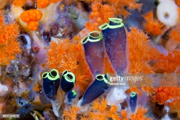 Sea Squirts Colony, Clavelina robusta, Ambon, Moluccas, Indonesia