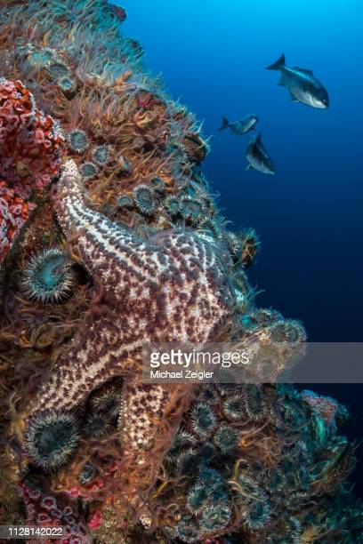 sea star and brittle stars on oil rig - long beach california stock pictures, royalty-free photos & images