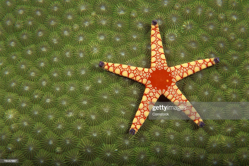 Sea star cleaning reefs by eating algae : Stockfoto