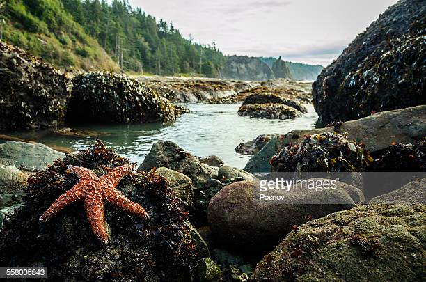 sea star on rialto beach - olympic park stock pictures, royalty-free photos & images