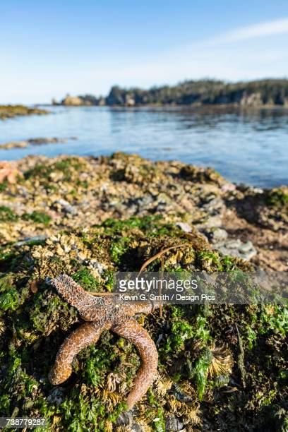 sea star stranded at low tide, hesketh island, homer, southcentral alaska, usa - home run ストックフォトと画像