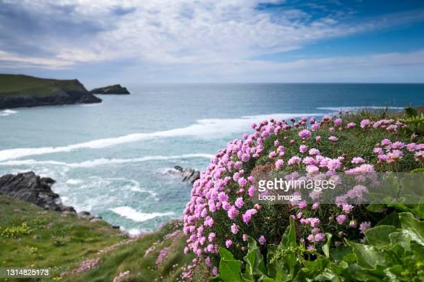 Sea Thrift Armeria maritima growing on the coast above Polly Joke Beach near Newquay in Cornwall.