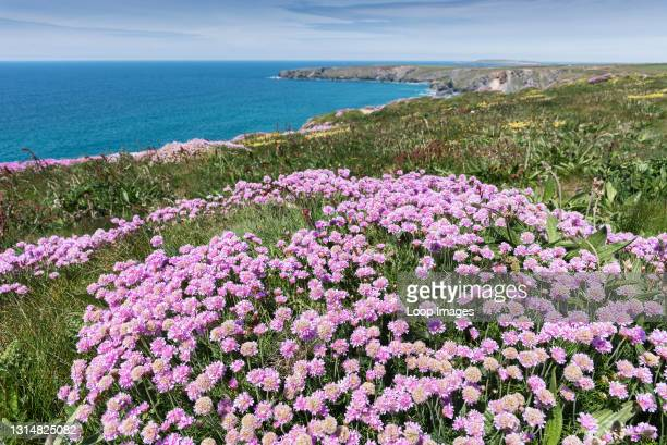 Sea thrift Armeria maritima growing on the coast path at Bedruthan Steps in Carnewas in Cornwall.