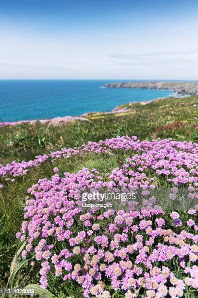 Sea thrift Armeria maritima growing on the rugged cliffs at Bedruthan Steps in Carnewas in Cornwall.