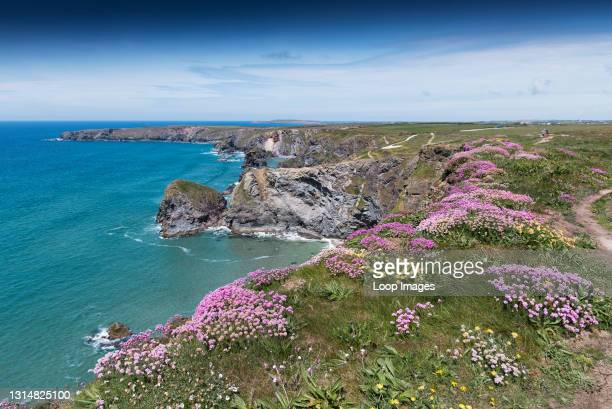 Sea thrift Armeria maritima growing on the wild rugged cliffs at Bedruthan Steps in Carnewas in Cornwall.