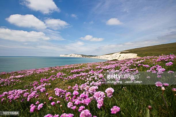sea thrift at compton bay, isle of wight. - isle of wight stock pictures, royalty-free photos & images