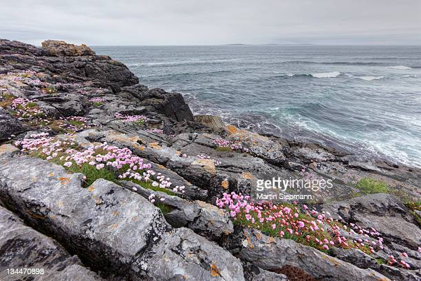 Sea Thrift (Armeria maritima), coast near Lisdoonvarna, Burren, County Clare, Ireland, Europe