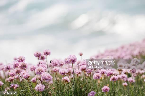 sea thrift flowers by polzeath beach - mois de mai photos et images de collection