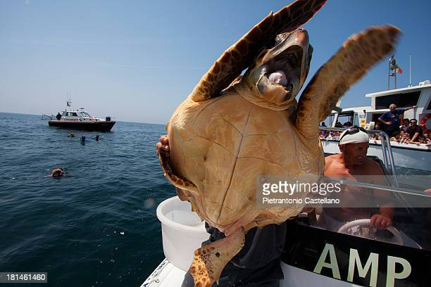 Sea turtle , about to be liberated after having fully recovered from injuries, seems to cry before being let swim away.