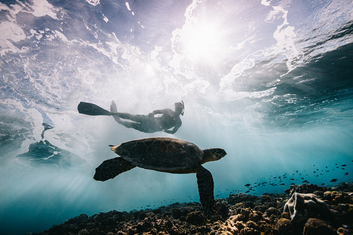 Sea Turtle and Surfer - gettyimageskorea