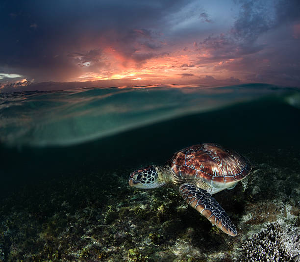 Sea turtle at sunset