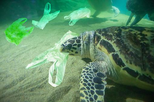 Sea Turtle eat plastic bag ocean pollution concept 1072961958