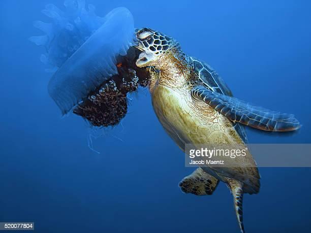 Sea turtle eating jellyfish