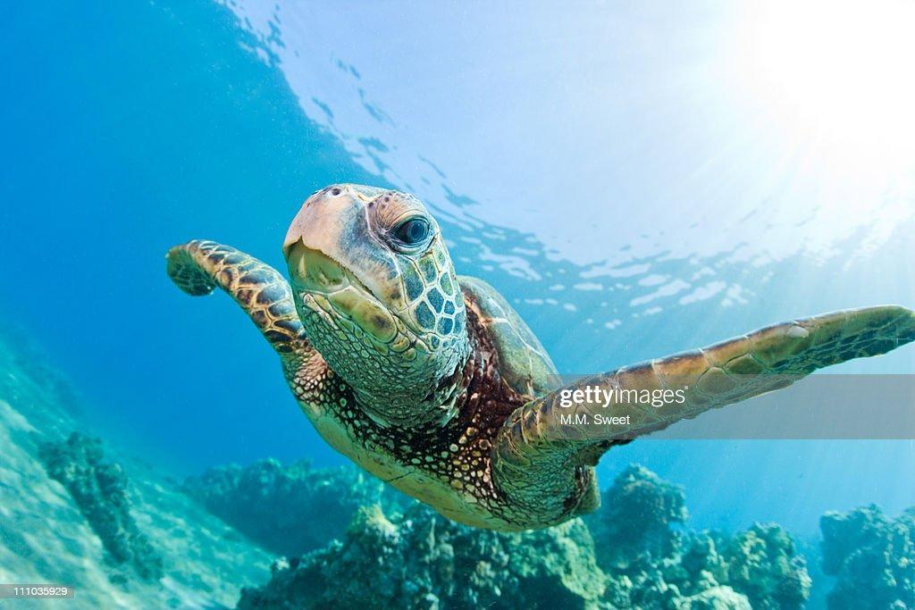 Sea turtle, Hawaii : Stock Photo