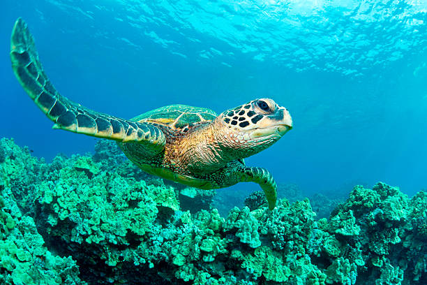 Sea turtle in coral, Hawaii
