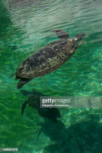 Sea turtle in crystal clear water